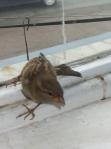vrabia mălai